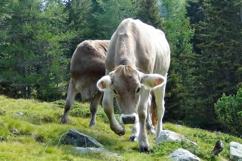 Kuh senkt Kopf und scharrt mit den Vorderhufen