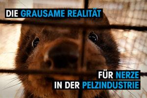 Thumbnail Die grausame Realitaet fuer Nerze in der Pelzindustrie