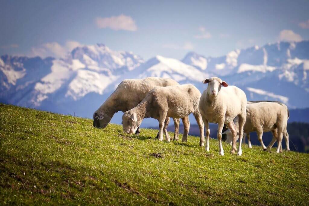 Schafe grasen auf einer Almwiese