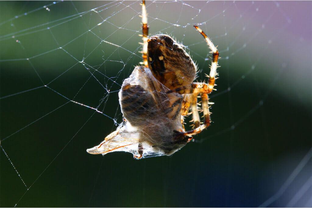 Spinne umwickelt ihre Beute