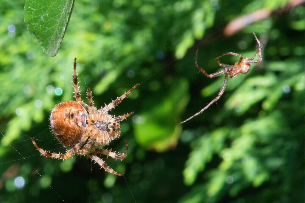 Spinnenpaar auf einem Netz