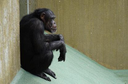 Schimpanse sitzt im Zoogehege
