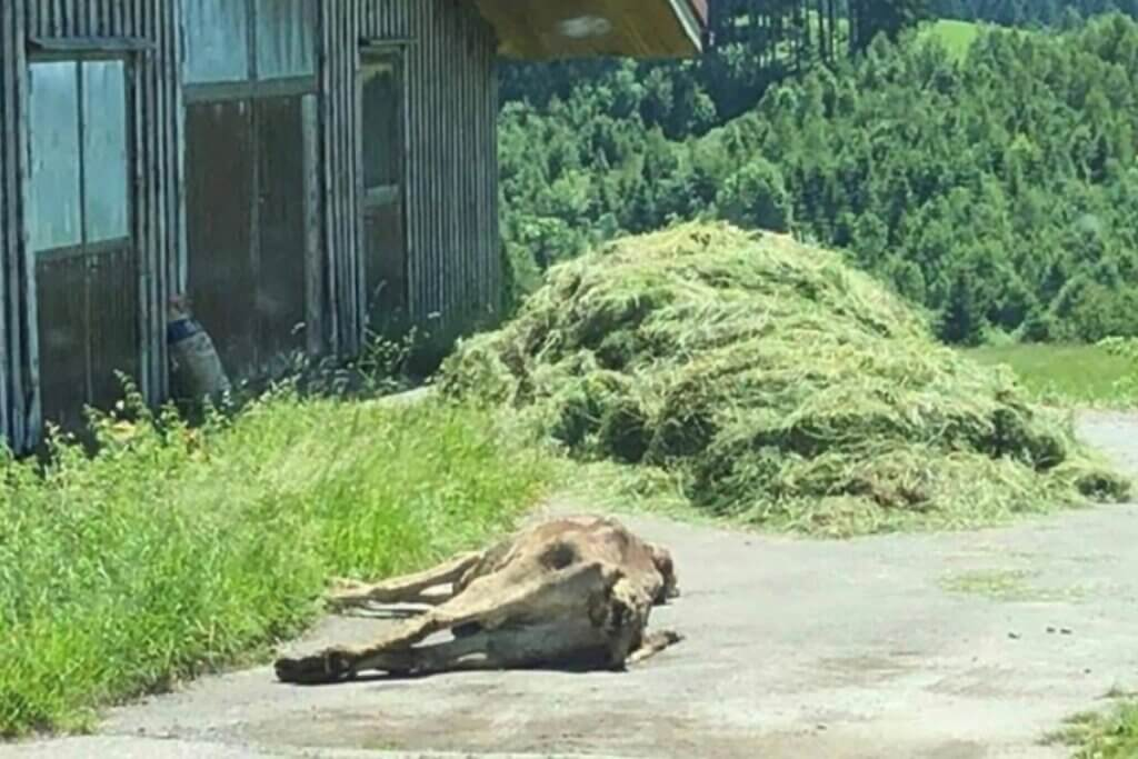 Tote Kuh liegt vorm Stall