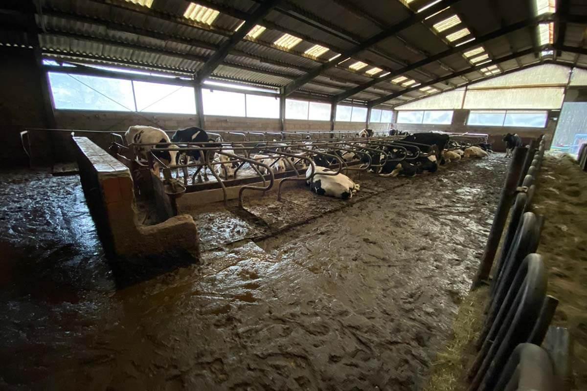 Milchbetrieb in Oberhaid: Vernachlässigte Kühe in ihren Fäkalien