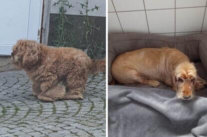 Collage Hund mit viel Fell und rasiert