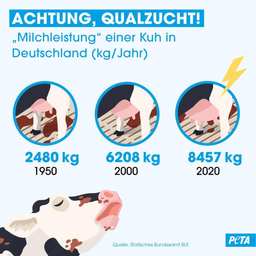 Infografik Qualzucht Kuehe