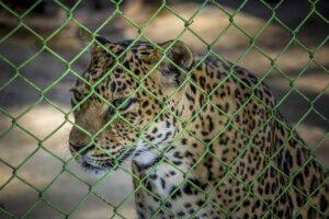 Leopard hinter Gitterzaun