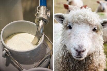 Collage Milcheimer und Schaf