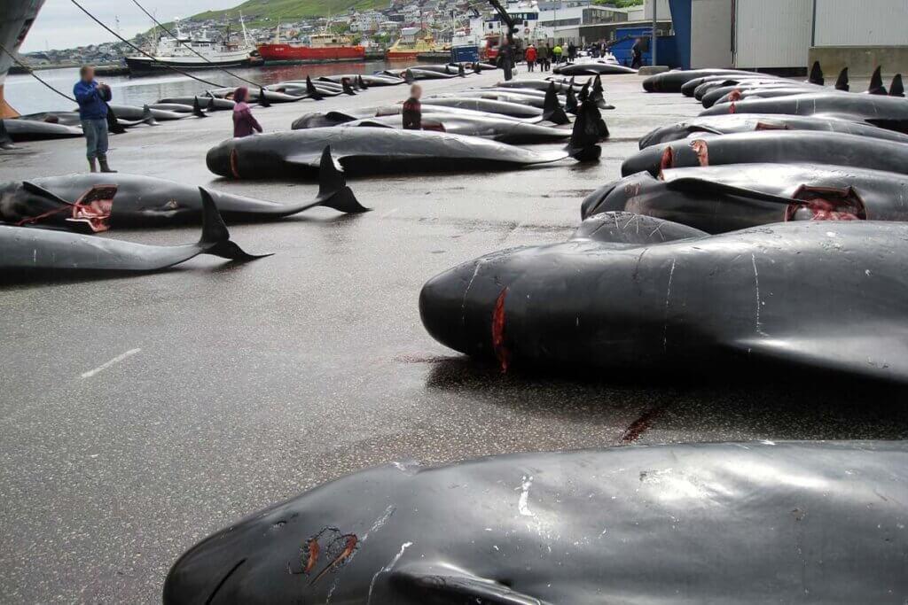 Tote Wale am Hafen von Faroer