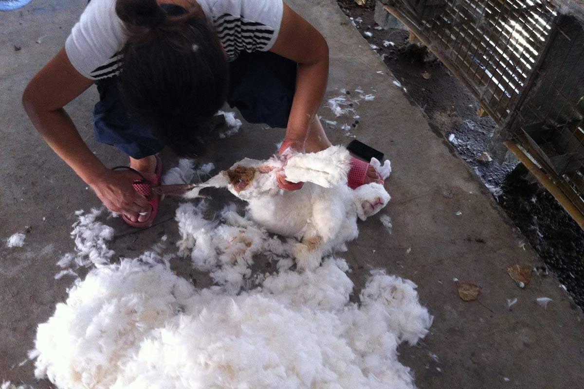 Person schneidet Angorakaninchen das Fell ab