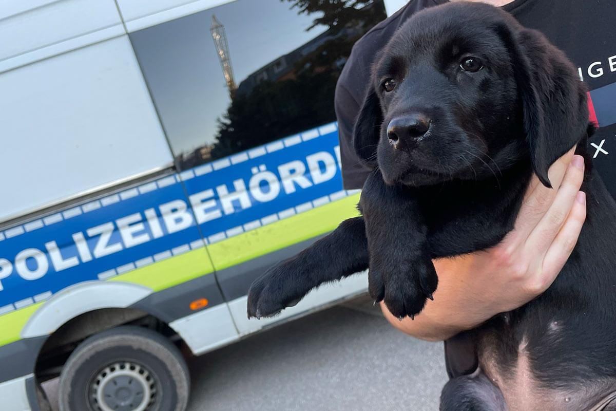 Stuttgart: Labradorwelpen aus illegalem Welpenhandel gerettet