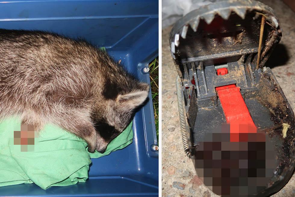 Schockierende Bilder: Waschbär in Falle tödlich verletzt