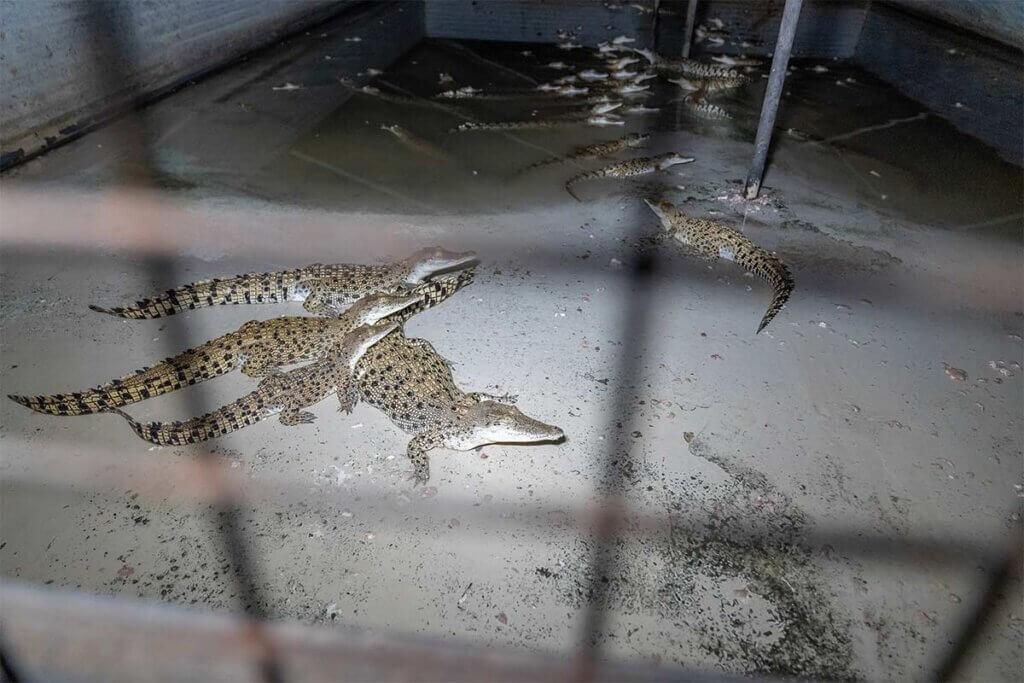 Krokodile eingesperrt im Betonbunker