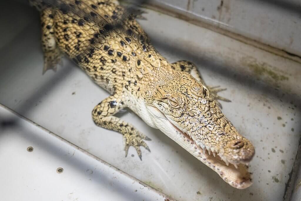 Krokodil in kleiner Zelle auf Lederfarm