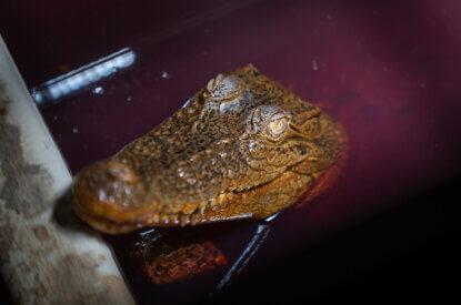 Krokodil im roten Wasserbecken auf Lederfarm