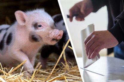 Collage Schwein und Wahlurne