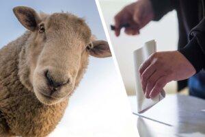 Collage Schaf und Wahlurne