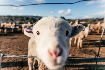 Schaf schaut durch einen Drahtzaun