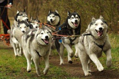Hunde rennen angeleint vor einem Schlitten