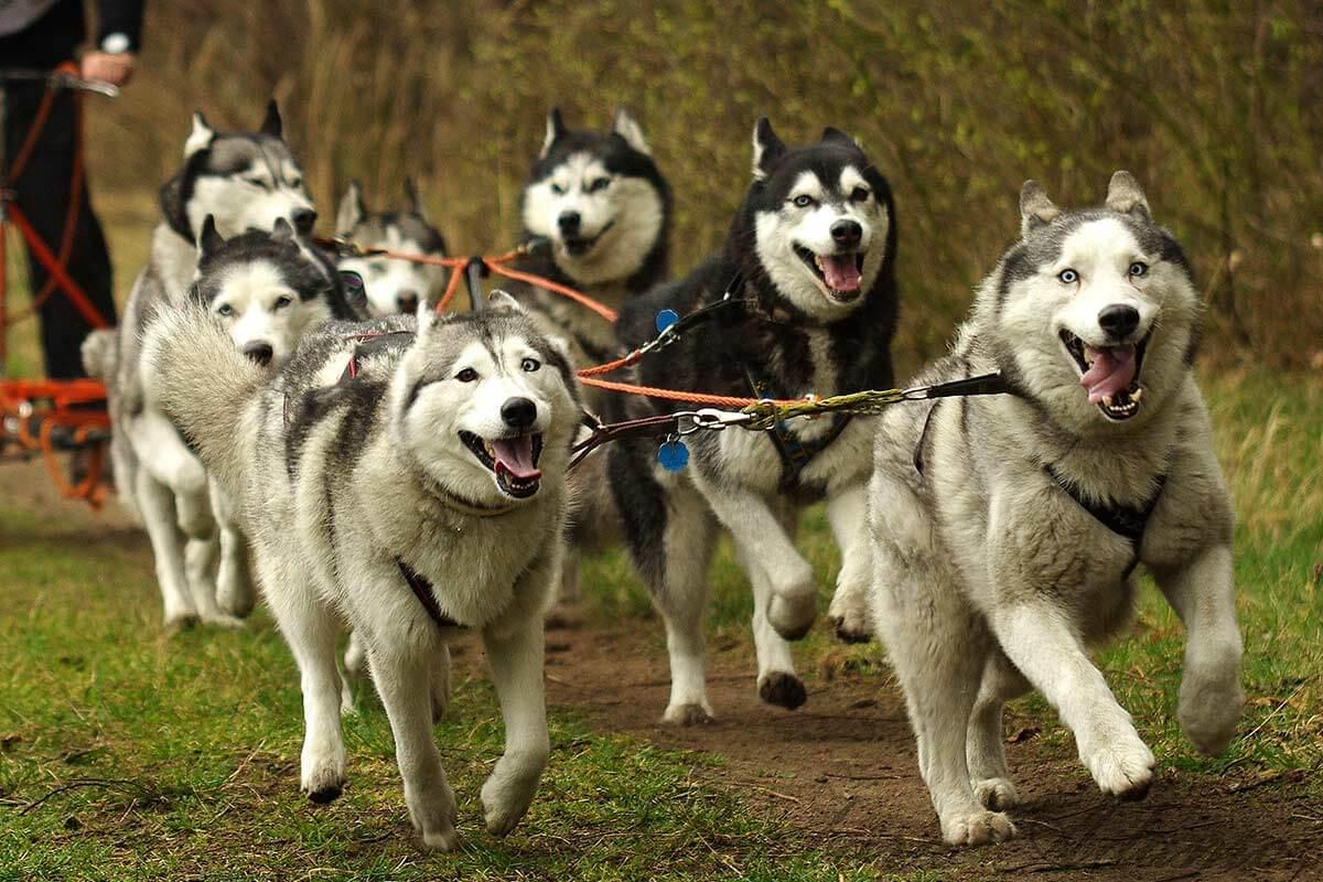 12 Schlittenhunde offenbar bei Transport erstickt und vergraben