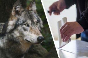 Collage Wolf und Wahlurne