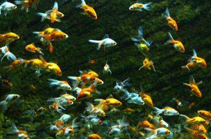 Schwarm Goldfische
