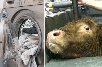 collage waschmaschine und kuh