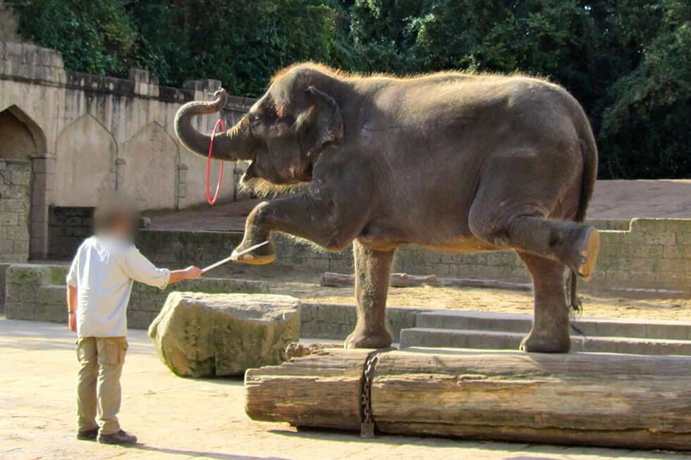 zoo hannover elefant kunststueck