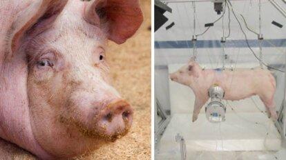 Collage Schwein und Crashtest mit Schwein