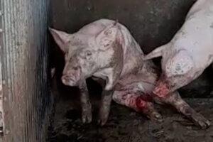 schwein mit verletzten hinterbeinen