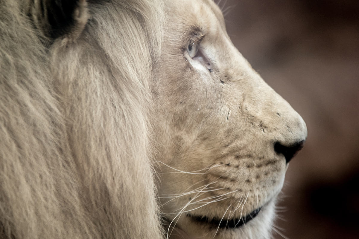 Circus Krone: Löwe King Tonga nach jahrelanger Ausbeutung tot