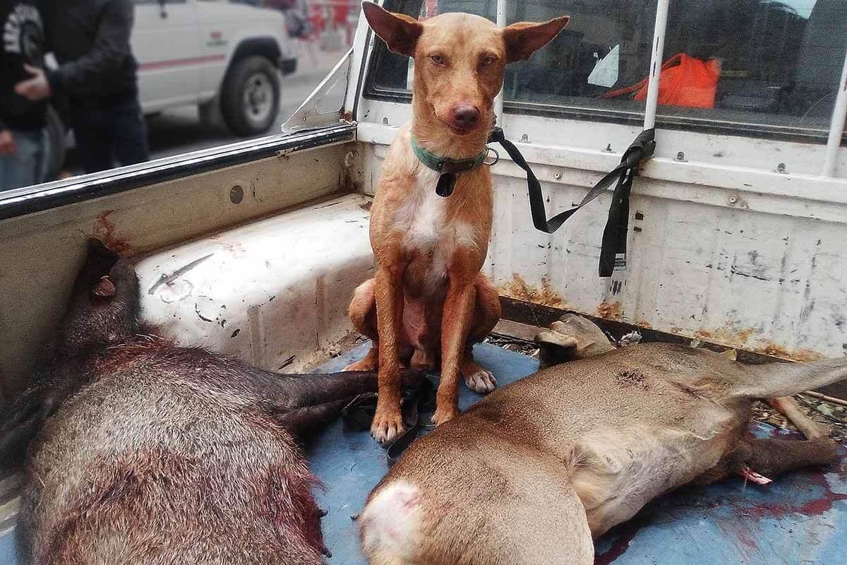 Wildpark verkauft Wildschweine für Jagdhunde-Ausbildung