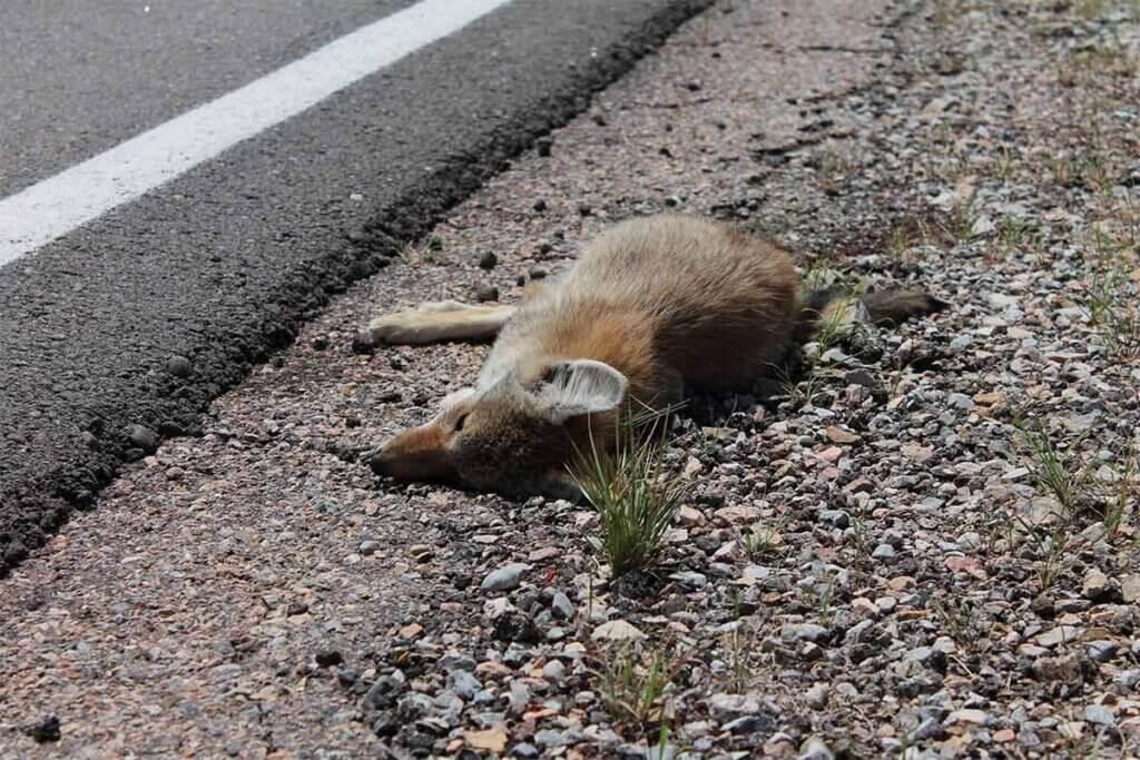 Toter Fuchs am Strassenrand